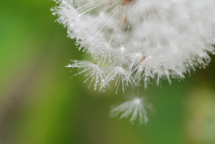 nature-grass-branch-dew-plant-white-761649-pxhere.com